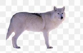 A Snow Wolf - Alaskan Tundra Wolf Snow Gray Wolf Wildlife PNG