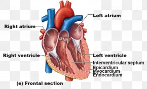 Heart - Anatomy Of The Heart Great Vessels Human Body PNG