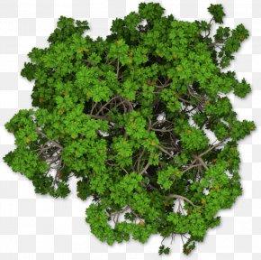 Tree Plan - Mediterranean Cypress Tree Shrub Pine PNG