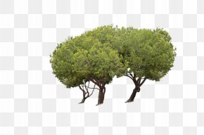 Tree - Tree Park Woody Plant Clip Art PNG