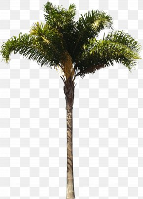 Palm Tree - Arecaceae Queen Palm Architect Woody Plant Tree PNG