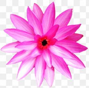 Belur Math - Dahlia Annual Plant Herbaceous Plant Close-up Pink M PNG