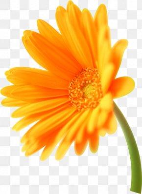 足球logo - Orange Transvaal Daisy Flower Florilegium Calendula Officinalis PNG