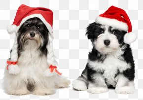 Puppy With Christmas Hats - Havanese Chihuahua Santa Claus Puppy Christmas PNG