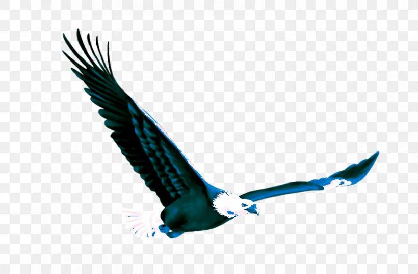 Eagle Fond Blanc, PNG, 855x563px, Eagle, Accipitriformes, Advertising, Beak, Bird Download Free