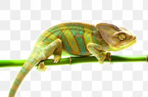 Chameleon - Practical Reptile Keeping Lizard Snake Chamaeleo PNG