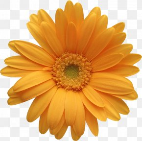 Orange Gerber Daisy Clipart - Transvaal Daisy Orange Common Daisy IStock Clip Art PNG