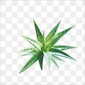 Aloe - Aloe Vera Euclidean Vector Plant PNG
