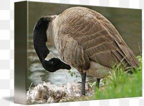 Mother Goose - Goose Feather Beak Wildlife Terrestrial Animal PNG
