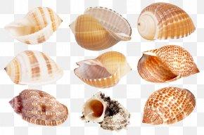 Seashell - Cockle Seashell Clip Art PNG
