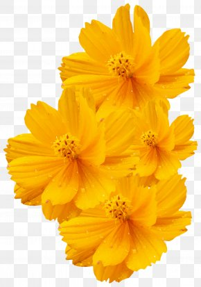 Shiny Flower Yellow Vector - Cosmos Sulphureus Cosmos Bipinnatus Yellow Flower Euclidean Vector PNG