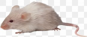 Mouse, Rat Image - Computer Mouse Rat Rodent PNG