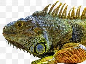 Lizard - Lizard Green Iguana Reptile Chameleons Marine Iguana PNG