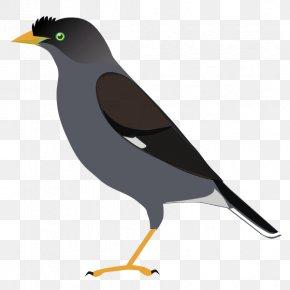 Bird - Common Myna Bird Common Raven Crow Family PNG