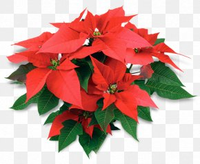 African American History Class - Poinsettia Christmas Day United States Of America De La Noche Buena Atlixco PNG