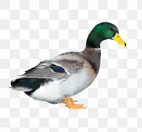 Duck - Duck Poultry Chicken Animal Husbandry PNG
