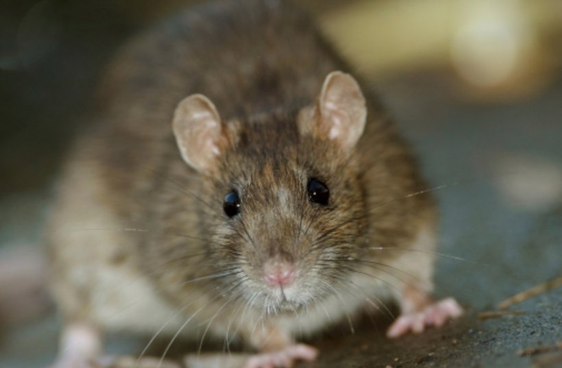 Brown Rat Rodent House Mouse Black Rat Infestation, PNG, 1335x875px, Brown Rat, Black Rat, Degu, Dormouse, Fauna Download Free
