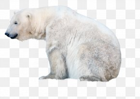 Polar White Bear - Polar Bear PNG