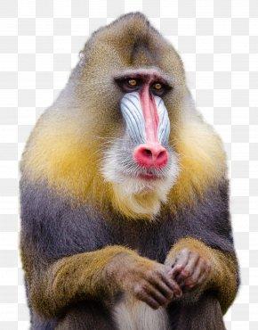 Mandrill Monkey - Mandrill Baboons Macaque Monkey PNG