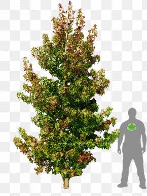 Natural - American Sweetgum Liquidambar Formosana Tree Woody Plant PNG