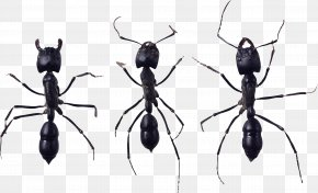 Ant - Ant Icon Wiki PNG