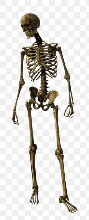 Skeleton - Human Skeleton Homo Sapiens Joint PNG