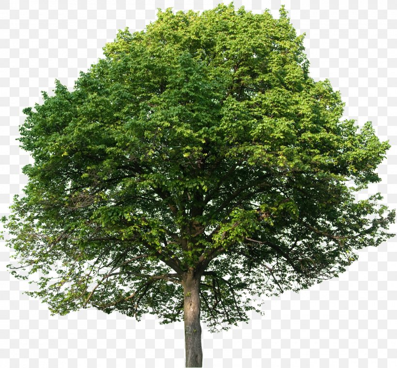 https://img.favpng.com/11/23/25/european-beech-english-oak-tilia-platyphyllos-tree-stock-photography-png-favpng-xi5unEcQdDxr3NuVR80bZGMe9.jpg