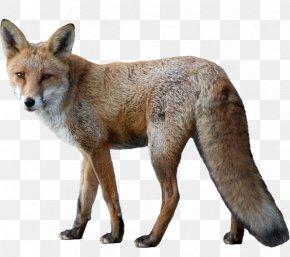 Fox Little Fox - Fox Animal Dog PNG
