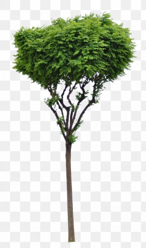 Trees - Tree Woody Plant Evergreen Branch PNG