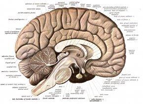 Brain - Human Brain Anatomy Diagram Human Body PNG