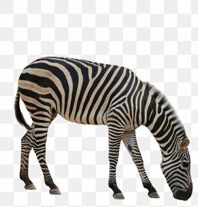 Zebra - Rhinoceros Giraffe Okapi Zebra Animal PNG