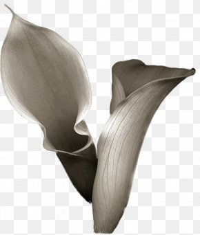 Handpainted Flowers - Flower Arum-lily Photography Drawing PNG