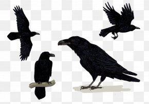 Corvus Corax - American Crow Common Raven Rook New Caledonian Crow Songbirds PNG
