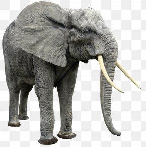 Elephant - African Bush Elephant Indian Elephant African Forest Elephant PNG