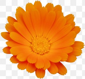Chrysanthemum - Calendula Officinalis Flower Chrysanthemum Orange PNG