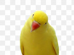 Yellow Parrot Images, Free Download - Parrot Cockatiel Lovebird Parakeet PNG