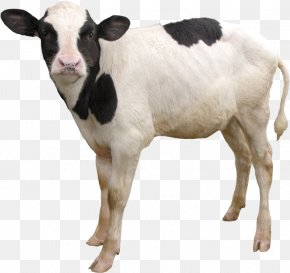 Vx - Dairy Cattle Calf Taurine Cattle Goat Sheep PNG