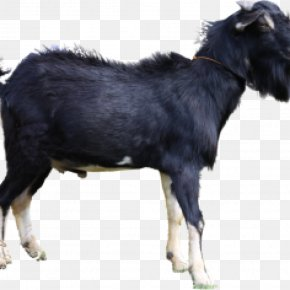 Goat - Jamnapari Goat Livestock Boer Goat Aqiqah Siap Saji Semarang (SunahAqiqoh.com) Limousin Cattle PNG