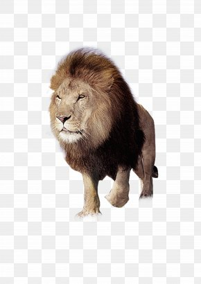 Angry Lion - East African Lion Tiger Download PNG