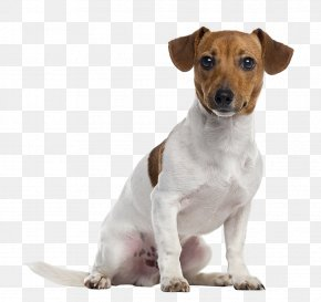 Dogs - Jack Russell Terrier Parson Russell Terrier Staffordshire Bull Terrier American Staffordshire Terrier Puppy PNG