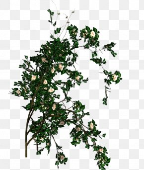 White Rose - Rose Shrub Branch Leaf Tree PNG