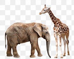 Giraffes And Elephants - Asian Elephant Giraffe African Elephant Rhinoceros PNG