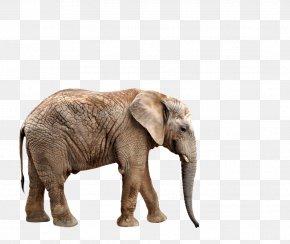 Elephants - African Elephant Northern Giraffe Rhinoceros Wallpaper PNG