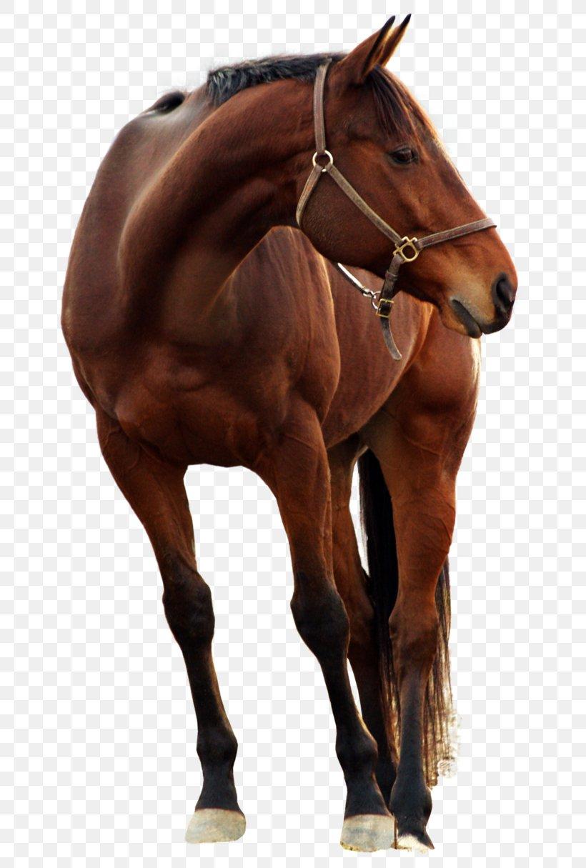 Arabian Horse Shire Horse Belgian Horse Mustang American Miniature Horse Png 658x1215px Arabian Horse American Miniature