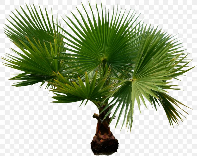 Arecaceae Houseplant Date Palms Tree, PNG, 2249x1788px, Arecaceae, Arecales, Borassus Flabellifer, Branch, Chamaerops Download Free
