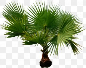 Palm Tree - Arecaceae Houseplant Date Palms Tree PNG