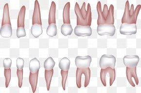 Various Shapes Of Teeth Vector - Human Tooth Incisor Homo Sapiens Clip Art PNG