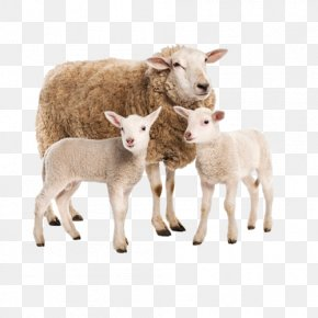 Sheep - Sheep Goat Charolais Cattle Limousin Cattle Beef Cattle PNG