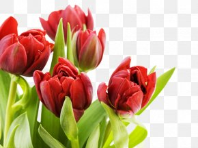 Red Tulips - Tulip Flower Display Resolution Wallpaper PNG
