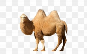 Camel - Dromedary Clip Art PNG